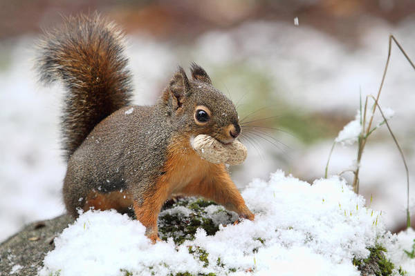 Photograph - Squirrel In Snow by Peggy Collins