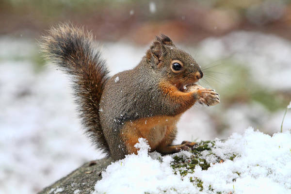 Photograph - Squirrel In The Snow by Peggy Collins