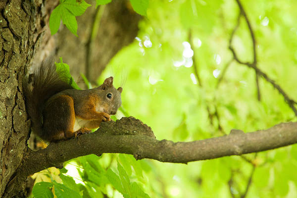 Wall Art - Photograph - Squirrel In Tivoli Park by Ian Middleton