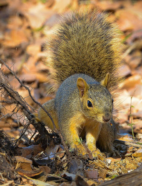 Photograph - Squirrel by John Johnson