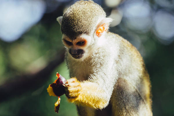 Squirrel Monkey Wall Art - Photograph - Squirrel Monkey And Plume by Pati Photography