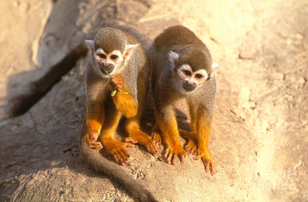Squirrel Monkey Wall Art - Photograph - Squirrel Monkey by Art Wolfe