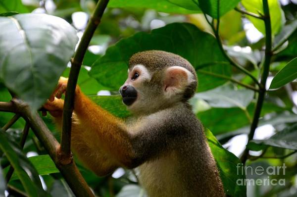 Photograph - Squirrel Monkey Climbs A Tree At Singapore River Safari Zoo by Imran Ahmed