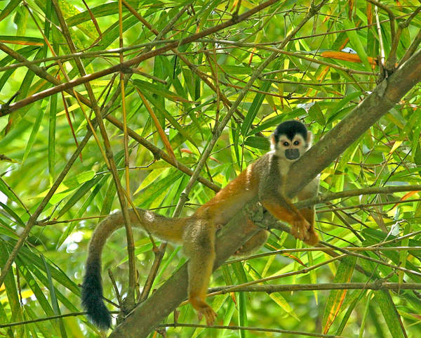 Photograph - Squirrel Monkey In The Jungle by Peggy Collins