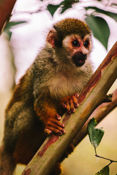 Squirrel Monkey Wall Art - Photograph - Squirrel Monkey Portrait by Pati Photography