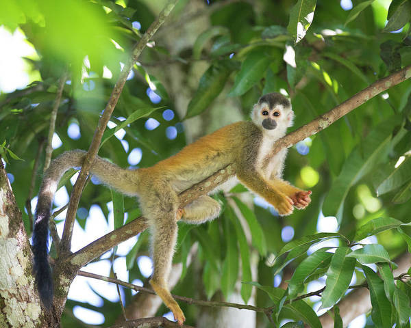 Squirrel Monkey Wall Art - Photograph - Squirrel Monkey Relaxing On Tree Branch by Sean Caffrey