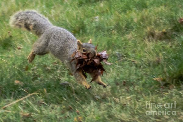 Grey Squirrel Photograph - Squirrel Nest Bulding by Robert Bales