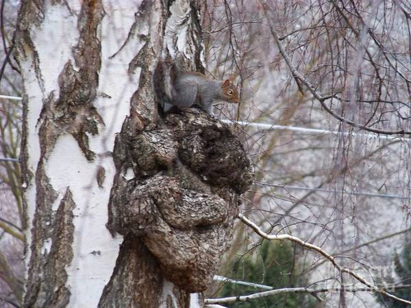 Photograph - Squirrel On A Burl by Charles Robinson