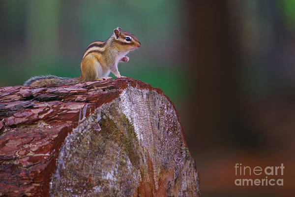 Photograph - Squirrel On A Tree by Nick  Biemans