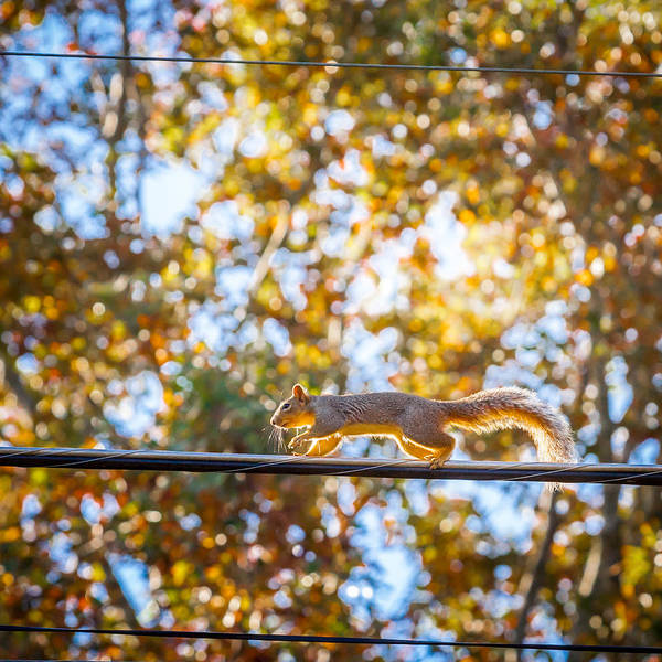 Photograph - Squirrel On A Wire  by Melinda Ledsome