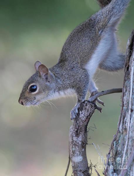 Photograph - Squirrel Pose by Deborah Benoit