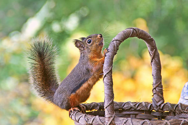 Photograph - Squirrel Stretching by Peggy Collins