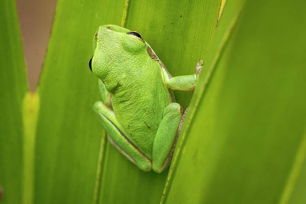 Everglades National Park Photograph - Squirrel Tree Frog In Palmetto by Rob Sheppard