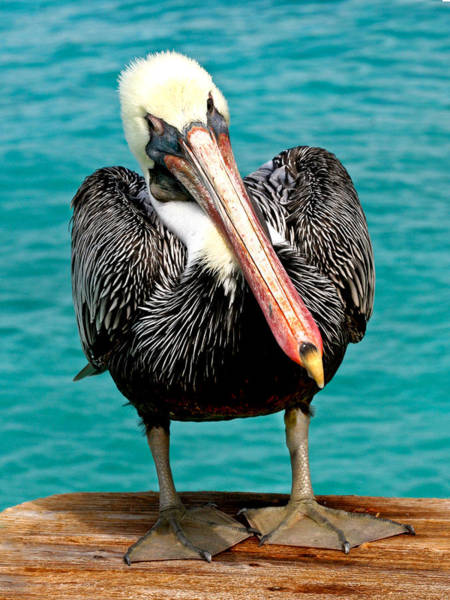 Photograph - Squished Up Pelican by Jean Noren