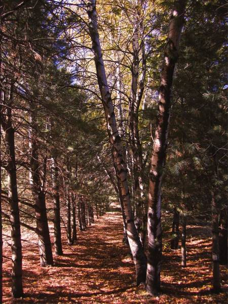 Photograph - St-denis Woods 12-003 by Mario MJ Perron