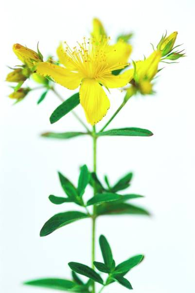 Medicinal Photograph - St John's Wort Flowers by Gustoimages/science Photo Library