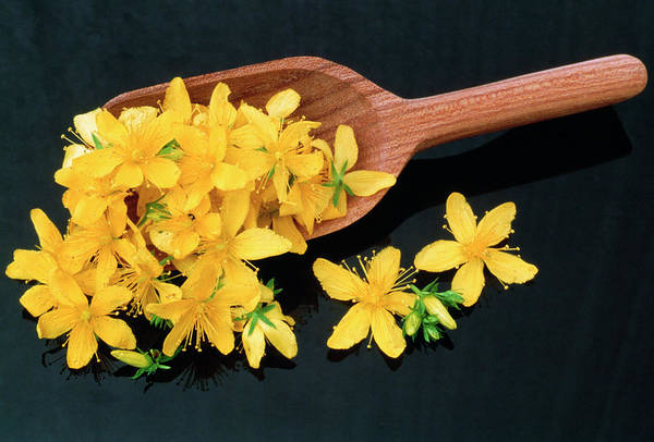 Softening Photograph - St John's Wort Flowers by Th Foto-werbung/science Photo Library