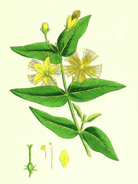 Wall Art - Photograph - St John's Wort by Sheila Terry/science Photo Library