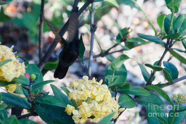 Photograph - St. Lucian Hummingbird by Laurel Best