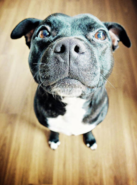 Sitting Bull Photograph - Staffordshire Bull Terrier by Michelle Mcmahon