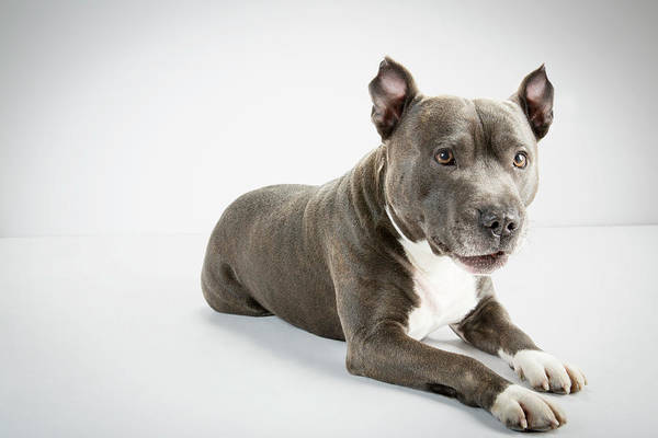 Sitting Bull Photograph - Staffordshire Bull Terrier, Studio by Jw Ltd