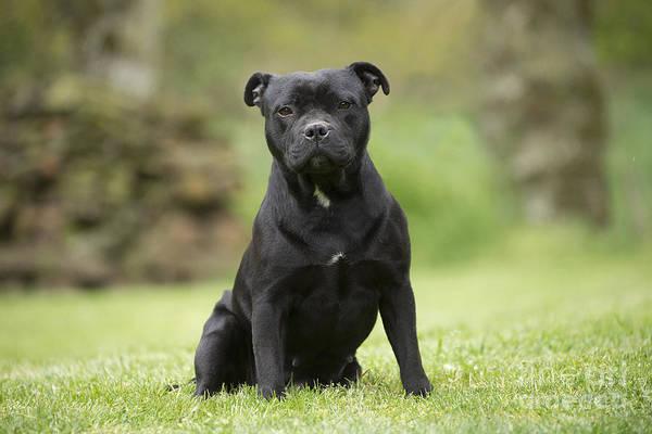 Sitting Bull Photograph - Staffordshire Terrier by Jean-Michel Labat