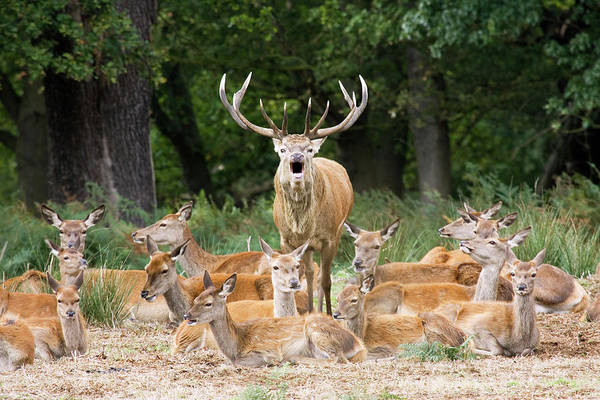 Red Deer Photograph - Stag And Hinds by John Devries/science Photo Library