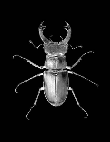 Wall Art - Photograph - Stag Beetle by Yacine M'seffar/science Photo Library