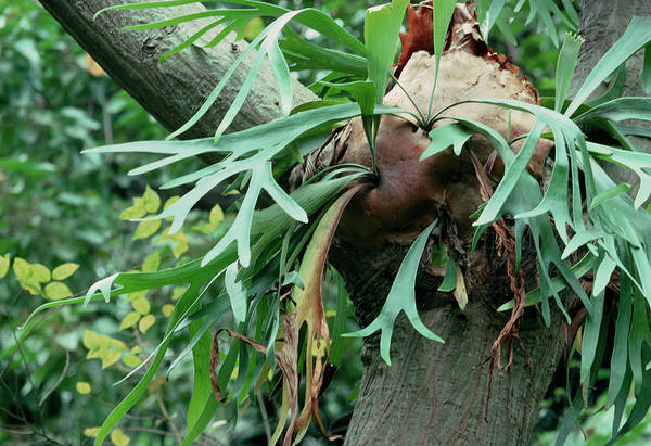 Staghorn Fern Photograph - Stag Horn Fern by Bob Gibbons/science Photo Library