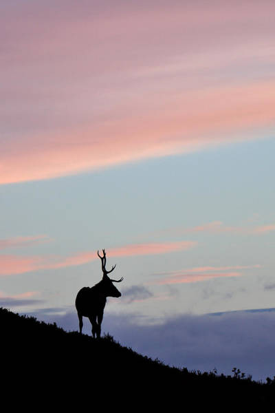 Photograph - Stag Silhouette by Gavin Macrae
