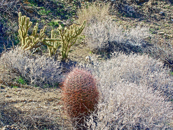 Staghorn Fern Photograph - Staghorn And Barrel Cacti Along Fern Trail In Indian Canyons Near Palm Springs-california  by Ruth Hager