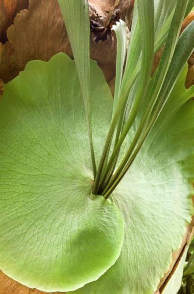 Staghorn Fern Photograph - Staghorn Fern (platycerium Bifurcatum) by Dr Jeremy Burgess