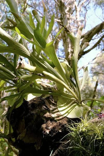 Staghorn Fern Photograph - Staghorn Fern (platycerium Coronarium) by Adrian Thomas