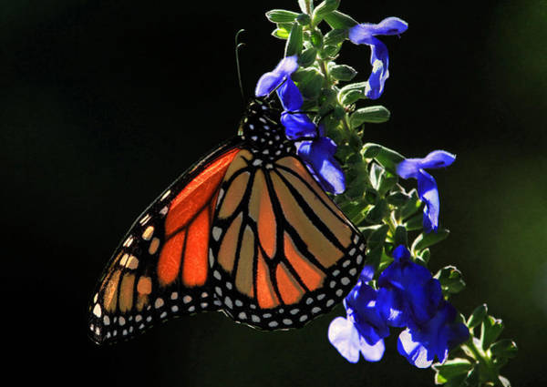 Monarch Butterfly Wall Art - Photograph - Stained Glass Wings by Donna Kennedy