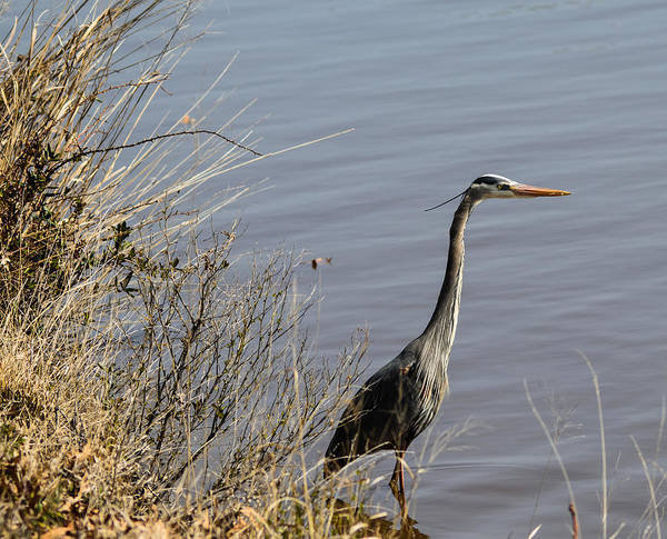 Red Wall Art - Photograph - Stalking Heron by Kathi Isserman