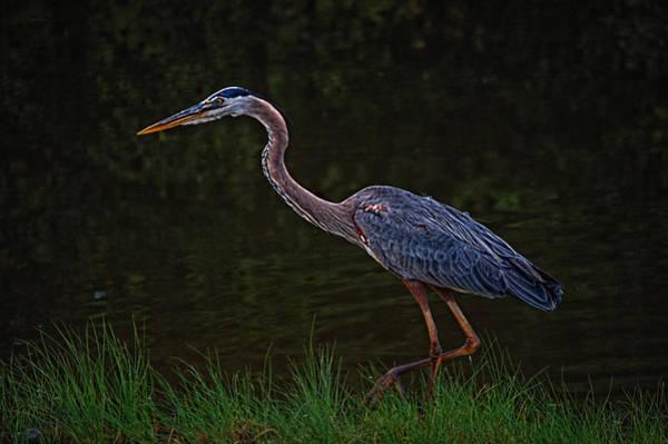 Photograph - Stalking Heron by Michael Thomas