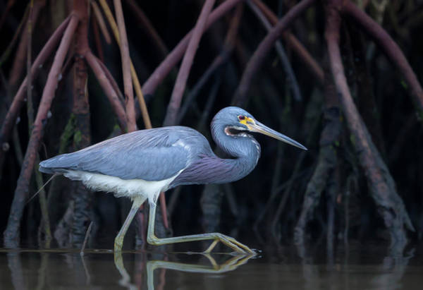 Roots Wall Art - Photograph - Stalking In The Mangroves by Greg Barsh