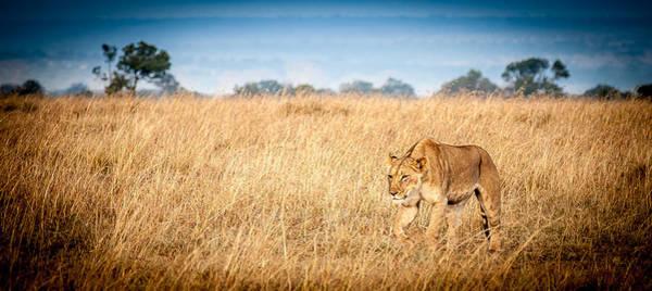 Photograph - Stalking Lion by Jim DeLillo