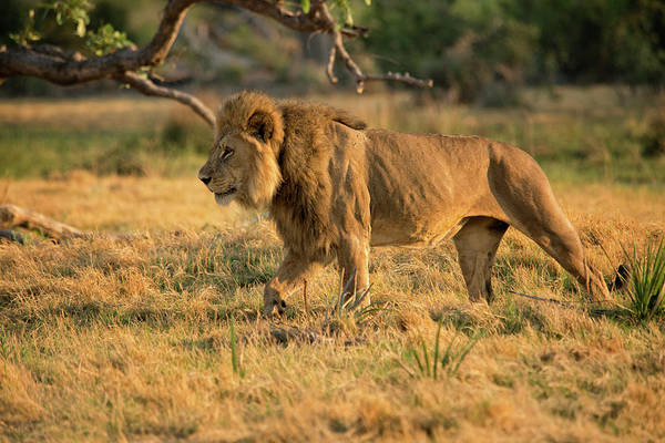 Concentration Camp Photograph - Stalking Male Lion In Grassland by Sheila Haddad