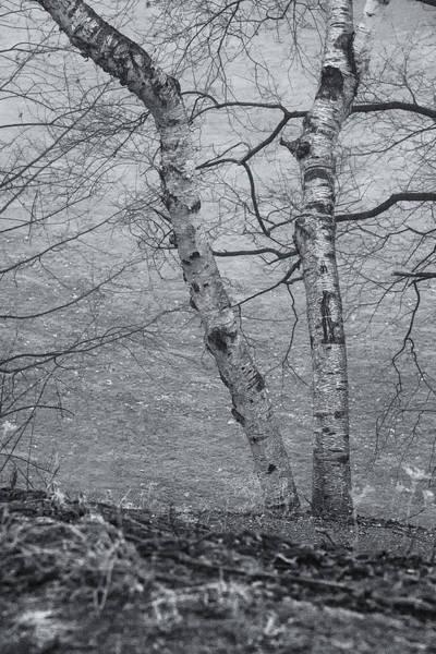 Photograph - Stalwart Birches by Tom Singleton
