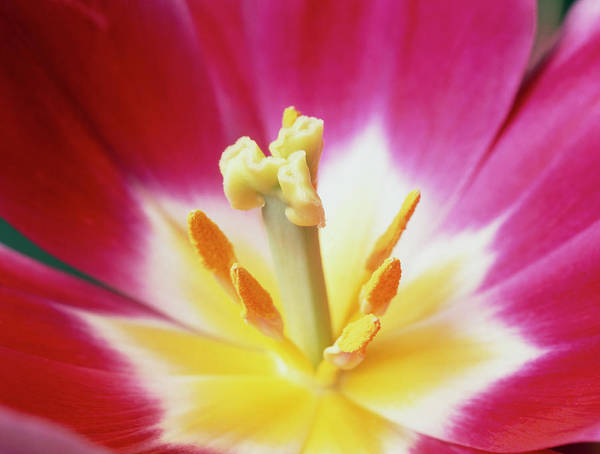 Anther Wall Art - Photograph - Stamens And Carpel Of A Tulip Flower by Martin Land/science Photo Library