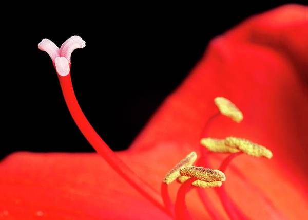 Carpel Photograph - Stamens And Carpel Of Hippeastrum Flower by Martin Land/science Photo Library
