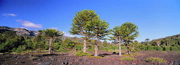 Wall Art - Photograph - Stand Of Monkey Puzzle Trees (araucaria by Martin Zwick