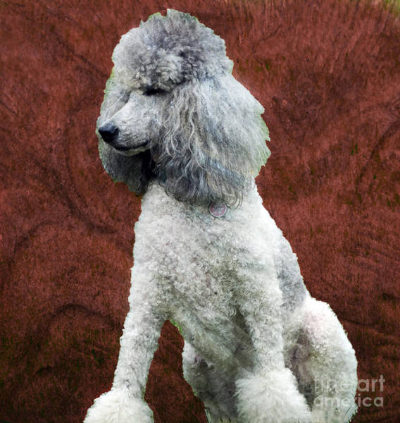 Photograph - Standard Poodle by Gena Weiser