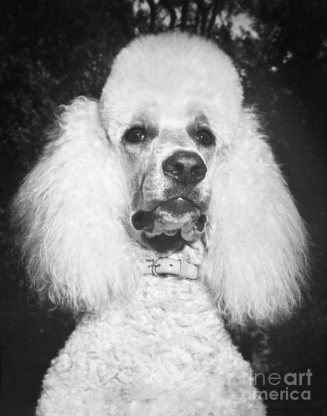 Photograph - Standard Poodle by ME Browning