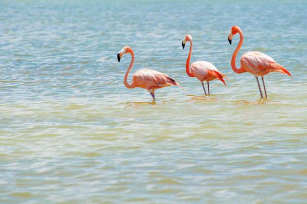 Yucatan Wall Art - Photograph - Standing Flamingo Trio | Rio Lagartos by Daniele Romeo - Photographer &  Traveller