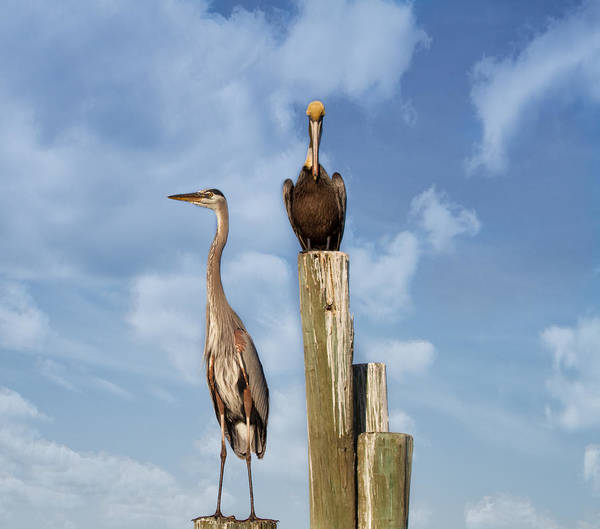 Great Blue Herons Photograph - Standing Guard by Kim Hojnacki