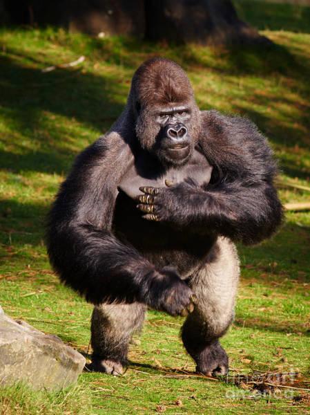 Photograph - Standing Silverback Gorilla by Nick  Biemans