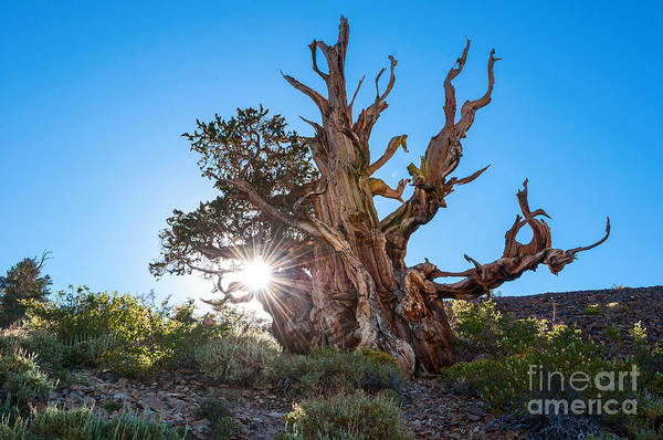 Pine Grove Photograph - Standing Strong - Sun Burst View Of The Ancient Bristlecone Pine Forest. by Jamie Pham
