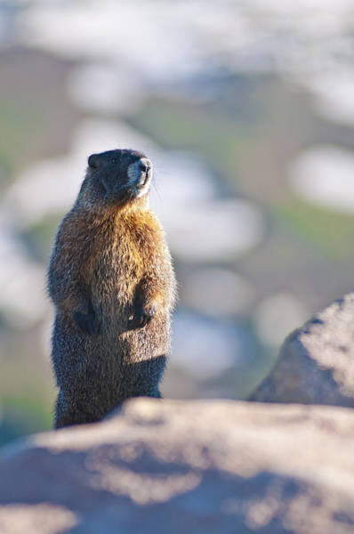 Marmot Photograph - Standing Tall In Colorado by Mike Berenson
